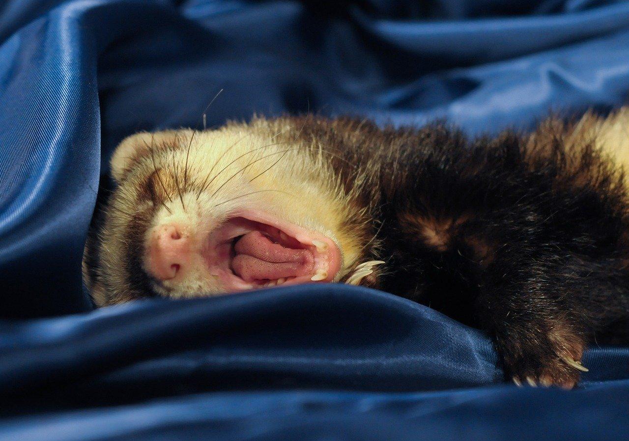ferret, yawn, language