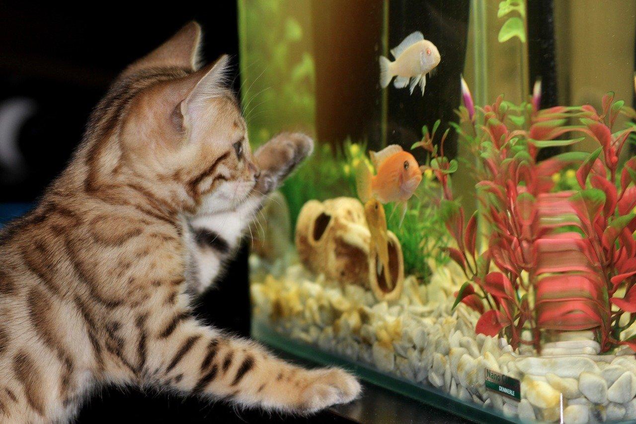 kitten, aquarium, bengal
